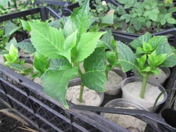 Деление куста или пересаживание начинают ранней весной