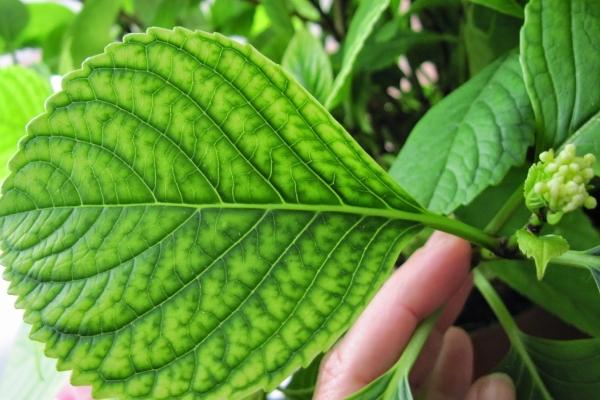 Болезни и вредители гортензии: хлороз, белая и серая гниль, мучнистая роса, тля, паутинный клещ, улитки