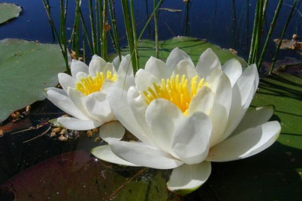 Лилия водяная посадка и уход