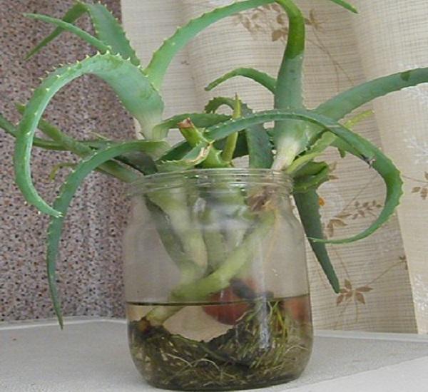 Отрезав у алоэ верхушку с 5-7 листьями, ее кладут в емкость с водой до тех пор, пока не даст корни