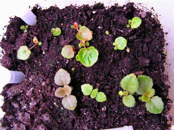 Вырастить из семян можно только один сорт бегонии Элатиор – F1 Charisma