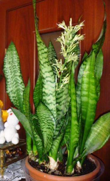 Сансевьера гиацинтовая в период цветения