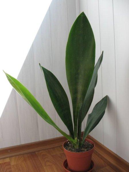 Сансевьерия грандис отличается крупными листами