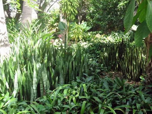 В южных странах сансевьеру можно встретить в естественной природе