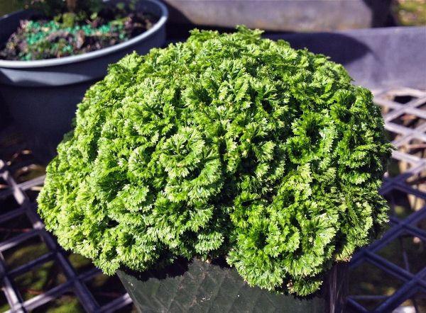 В период с марта по сентябрь Селагинеллу дважды в месяц подкармливают половинной дозой удобрений для декоративно-лиственных растений