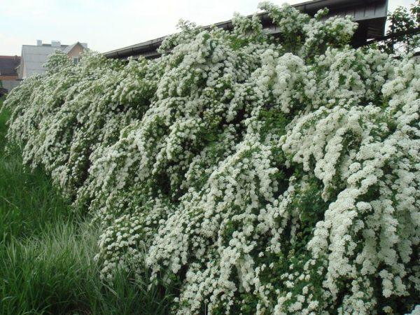 Если живая изгородь из спиреи или отдельно стоящие кустарники будут пребывать в тени, ждать россыпи белых цветов на побегах не стоит