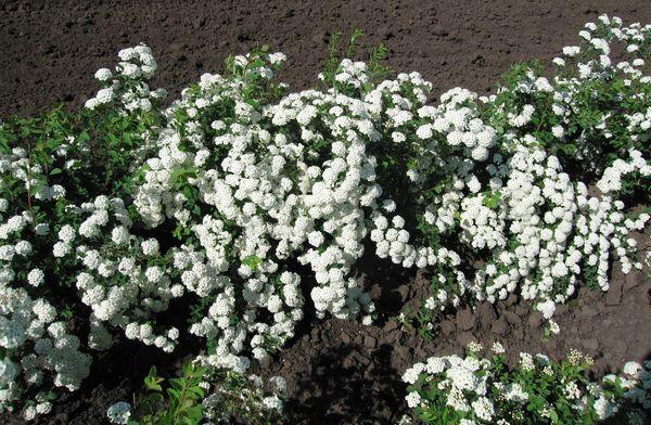 Для лучшего цветения спиреи Вангутта, следует добавлять двойной суперфосфат при подготовке питательного грунта