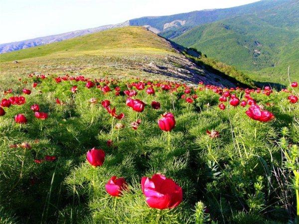 Крымские горные пионы
