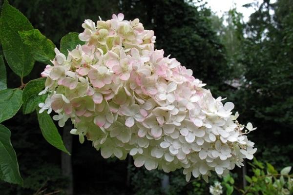 Гортензия метельчатая цветет с июня до заморозков, морозоустойчива