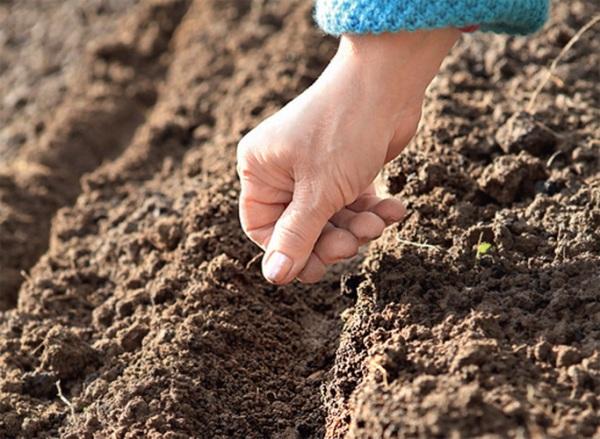 При высаживании рассады в грунт необходимо предварительно сделать борозды