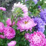 Крупные цветки однолетней астры