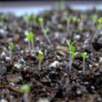 Размножение астры из семян