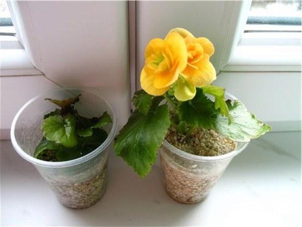 Летом цветок неплохо отзывается на опрыскивание по листовой массе, но учитывайте, что проводить его нужно только в вечерне время