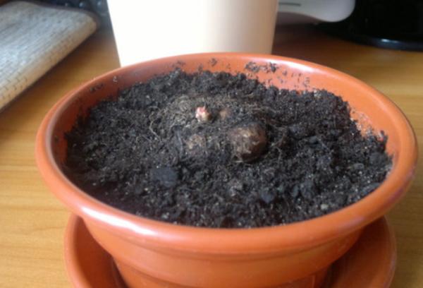 Контейнер для посадки клубней не должен быть глубоким, так как корневая система у этого растения поверхностная