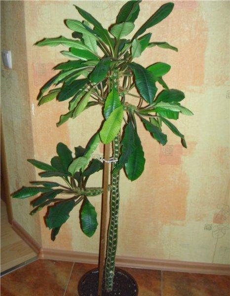 Высота растения может достигать полутора метров