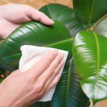 Протирание листьев молочая салфеткой