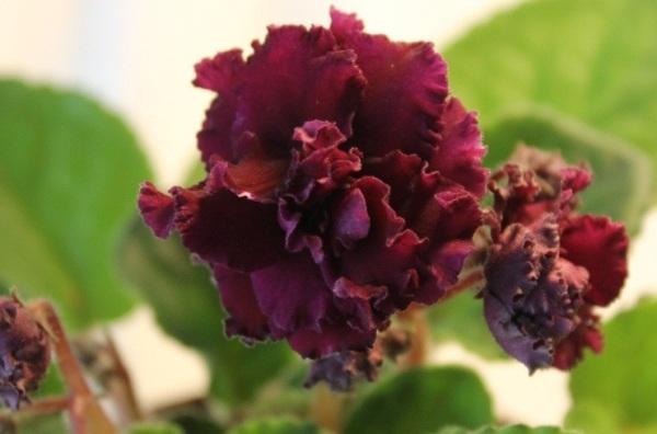 Шапковидное цветение АВ-Богемы