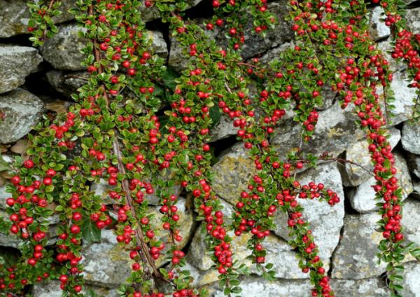 Плоды Горизонтального кизильника красного цвета, имеют шарообразную форму