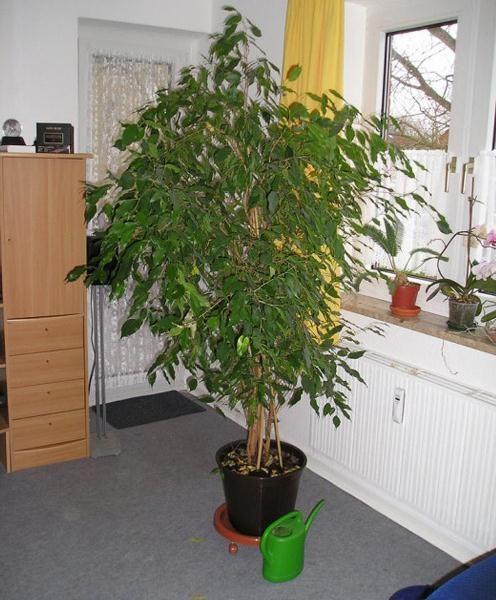 Поливать кофейное дерево в домашних условиях надо исключительно мягкой и теплой водой