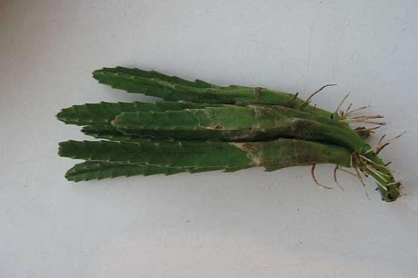 Размножение возможно семенами и черенками