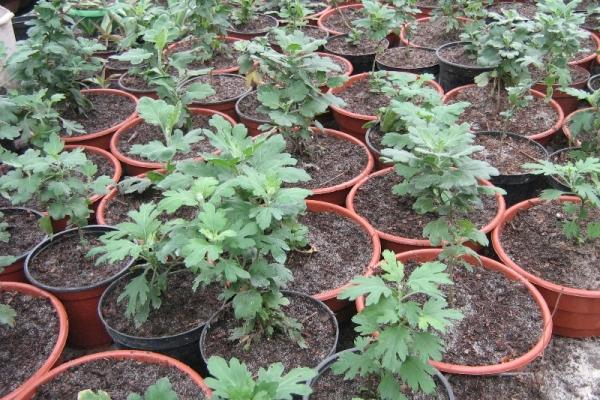 Для размножения хризантемы лучше не срезать, а отламывать веточки