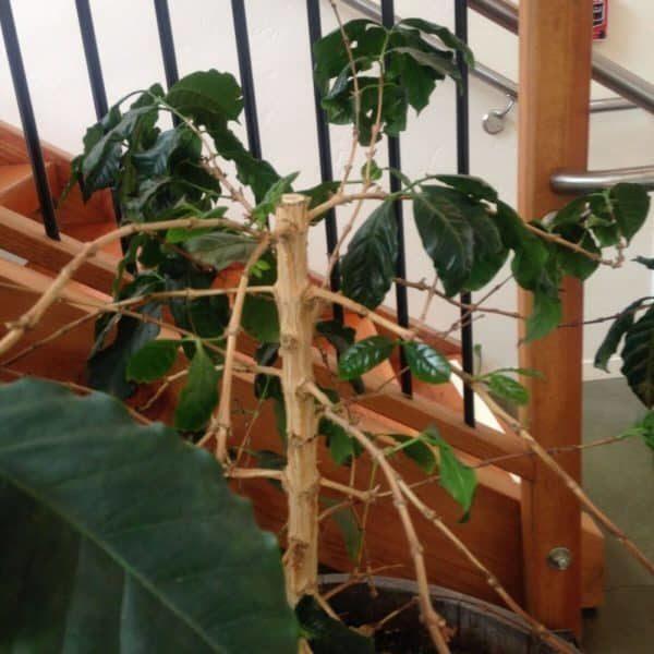 Чрезмерная обрезка не навредит кофейному дереву и не повлияет на дальнейшее вегетативное развитие