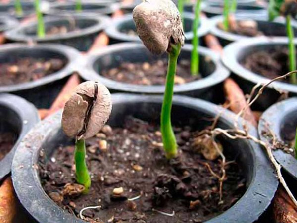 Прорастание семян кофейного дерева