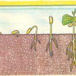 Порядок роста кофейного дерева из семени
