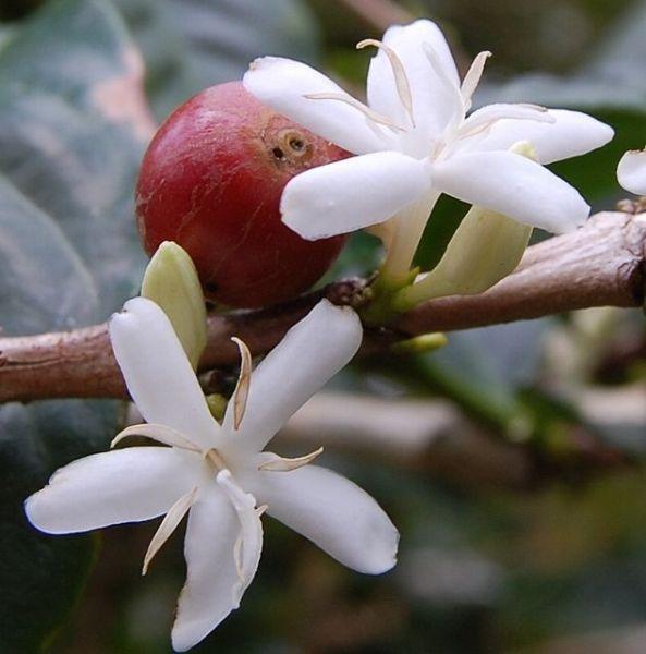 Цветок кофейного дерева