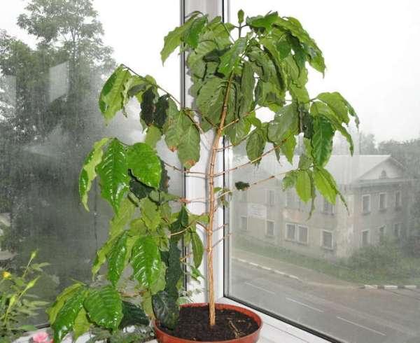 Боковые побеги кофейного дерева не стоит срезать