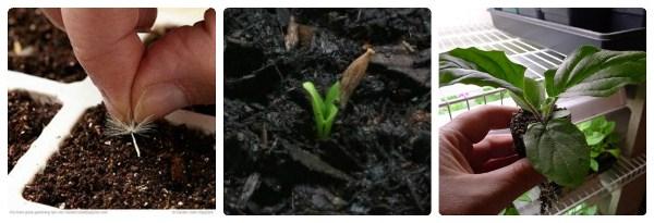 Высаживать семена садовой герберы начинают ранней осенью