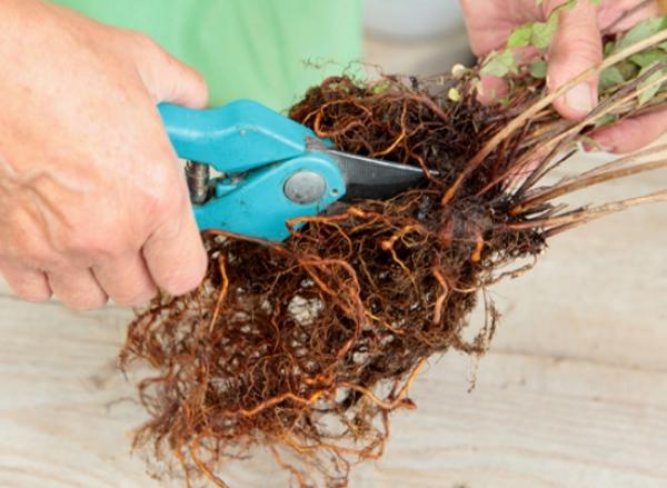 Высаживать полученные таким образом кустарники спиреи Вангутта следует в заранее подготовленные посадочные ямы, в которых удобрен грунт, а также обеспечен дренаж