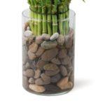 Выращивание бамбука счастья в воде