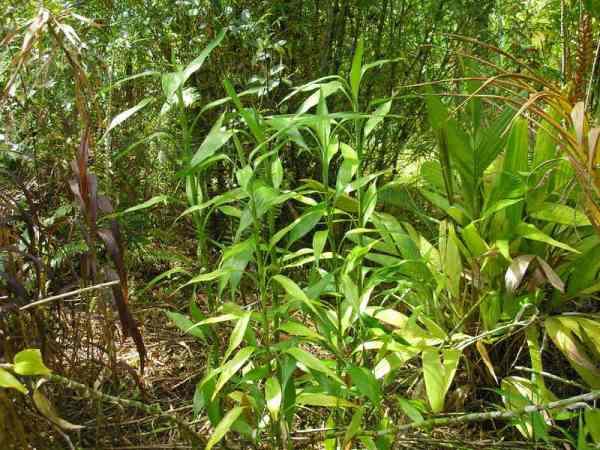 Драцена Сандера в естественной среде тропиков