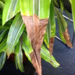 Засыхание листьев драцены