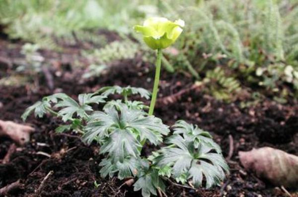 Прополку и рыхление Купальницы необходимо проводить регулярно, на расстоянии 10 см от цветков