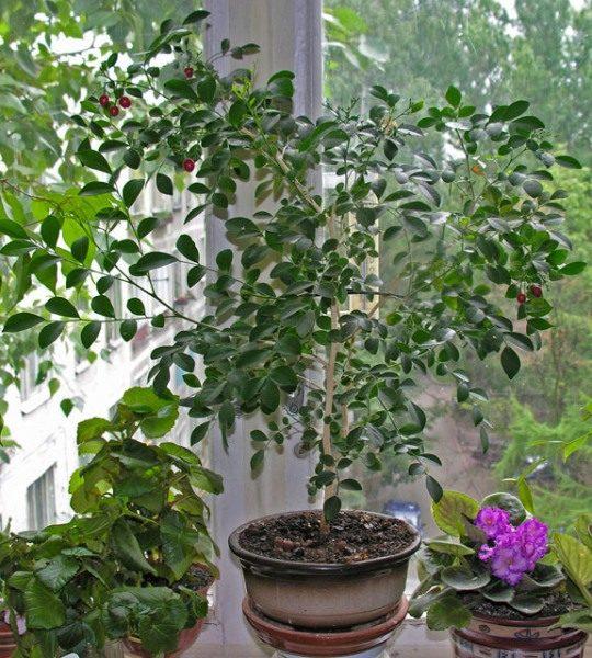 Когда Мурайя начинает активно расти, то очень важно проводить его регулярный полив