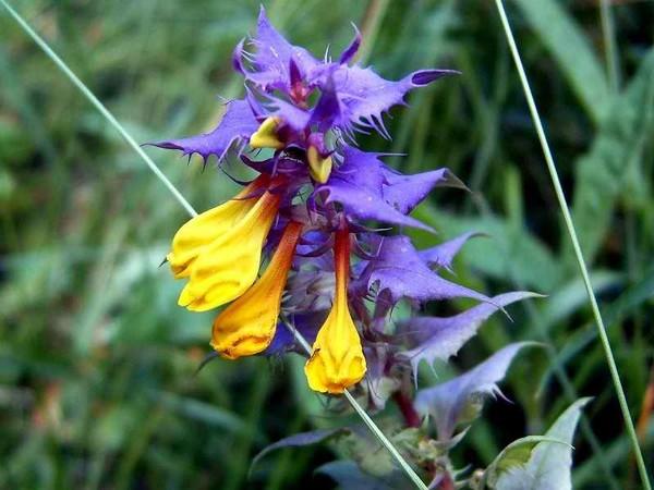 Марьянник дубравный (Иван да марья) - однолетний цветок