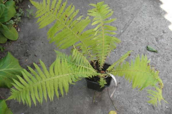 Растение влаголюбивое, но не переносит застоя влаги, требуется дренаж