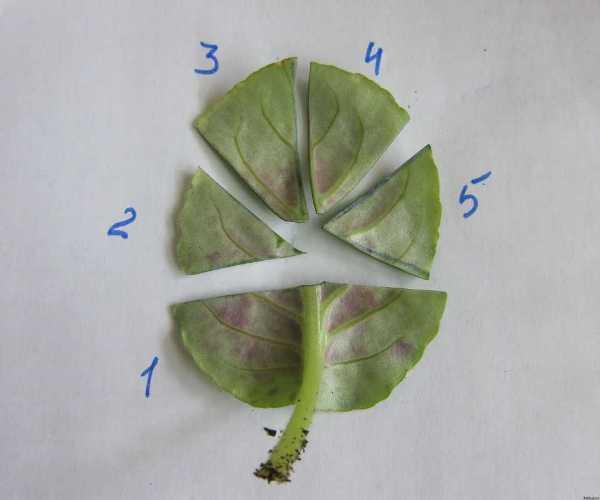 Как размножать фиалку листом в домашних условиях