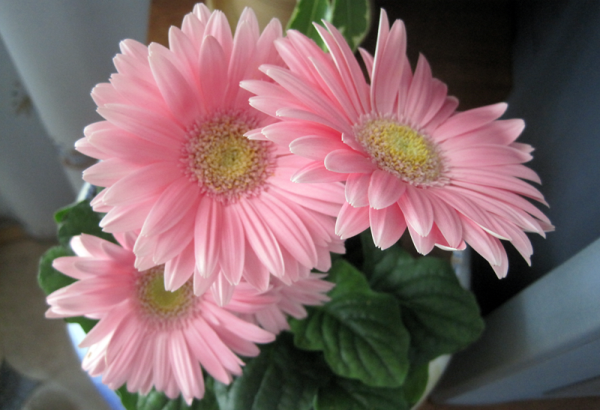 Гербера - цветок козерогов