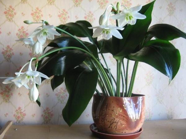 Для обильного цветения комнатная лилия нуждается в определенном температурном и световом режиме