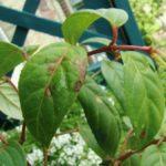 Коричневые пятна на листьях