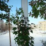 В квартире зимовка возможна при постоянном проветривании холодным воздухом