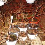 Фуксия с опавшими листьями в помещении