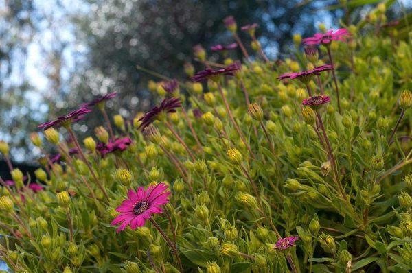 Родина герберы ‒ Южная Африка: здесь она растет в дикой природе