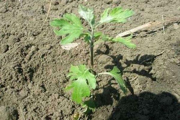 Корейская хризантема хорошо приживается на новом месте, а саму посадку и дальнейший уход за растением планируют на начало весны