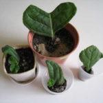 Пересадка пустившего корни листового черенка глоксинии в горшки
