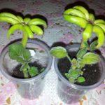 Посадка цветоноса глоксинии в пластиковую емкость
