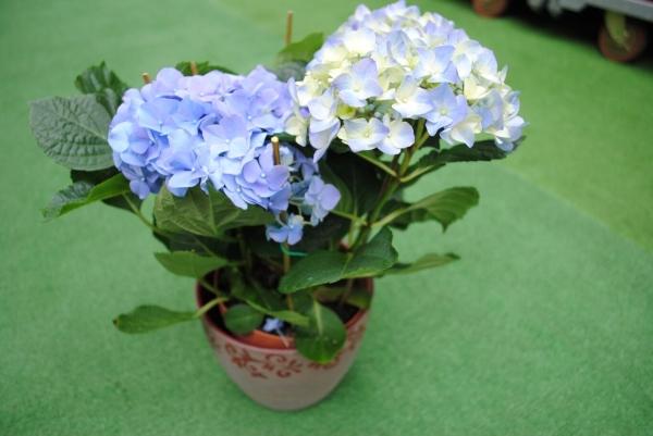 Гортензия, выращенная из семян, при правильном уходе обильно цветет